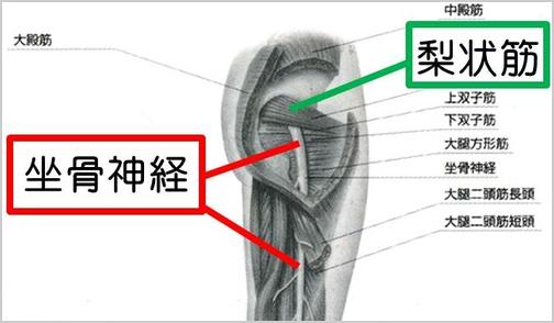 坐骨神経の周辺
